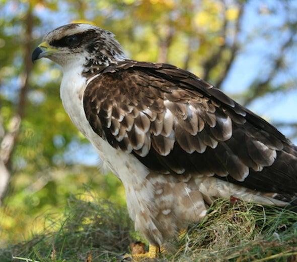 East of Siberia: An Osprey, Until It Wasn't