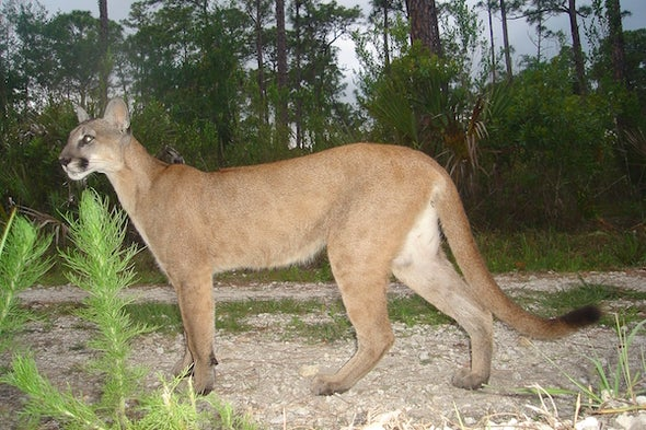 For Florida Panthers, Extinction Comes on 4 Wheels