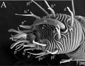 New Worm-Like Mite Features Extraordinary Upholstery