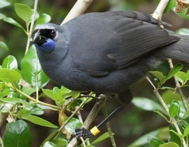 Egg Swap for Operatic New Zealand Birds a Success, but Invasive Predators Create Discord