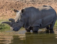 Another Northern White Rhino Dies, Only 5 Remain