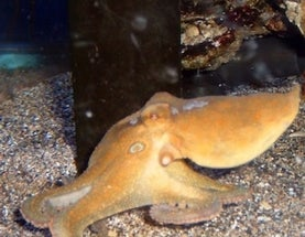 Mating Octopuses Prefer Crab Legs