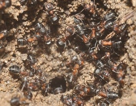 Trapped in a Black Pit, Ants Refuse to Give Up