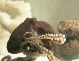 Is Smell the Key To an Octopus's Heart?