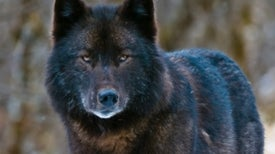 Key Population of Alaska's Alexander Archipelago Wolves Nearly Wiped Out in 1 Year