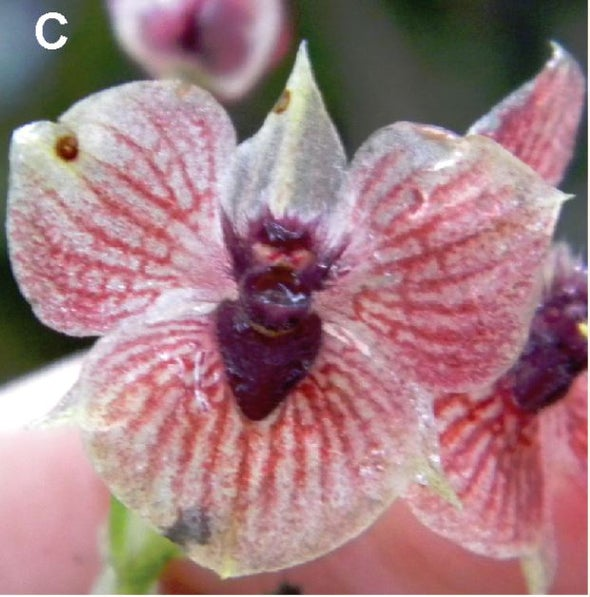 """Newly Discovered """"Devil Orchid"""" is Critically Endangered"""