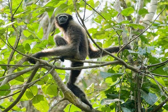 Assam's Endangered Apes