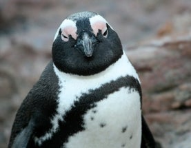 Sunday Species Snapshot: Jackass Penguin