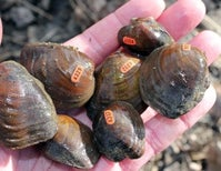 Nearly Extinct Mussel Gets One Last Chance at Survival