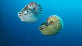 This Fuzzy, Golden Nautilus Hasn't Been Seen in Over 30 Years