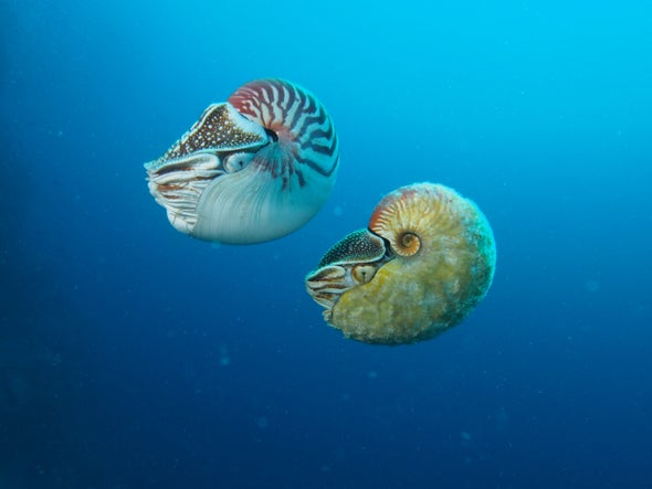 This Fuzzy, Golden Nautilus Hasn't Been Seen in Over 30 Years