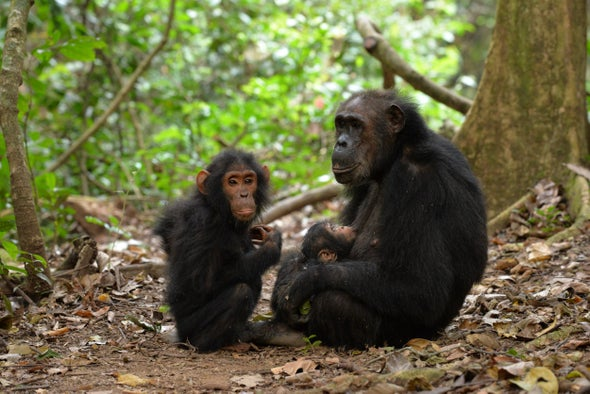 Chimpanzees Deserve Mother's Day Too