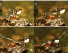 "14 New Species of Endangered ""Dancing"" Frogs Discovered in India [Video]"