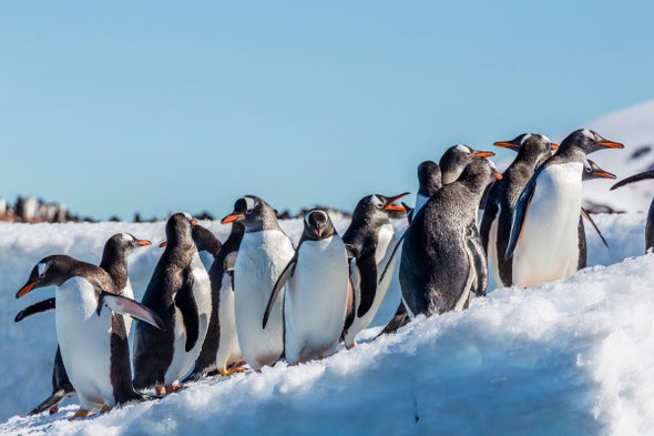 "Climate Change? ""Meh,"" Say Gentoo Penguins"