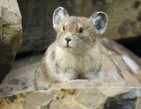 Climate-Threatened American Pika Denied Protection--Again