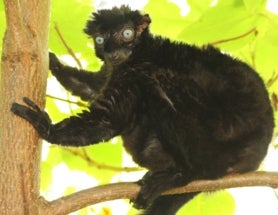 Gorgeous Blue-Eyed Lemur Faces Extinction in 11 Years