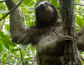 Pygmy Sloths Could Gain Much-Needed Endangered Species Protection