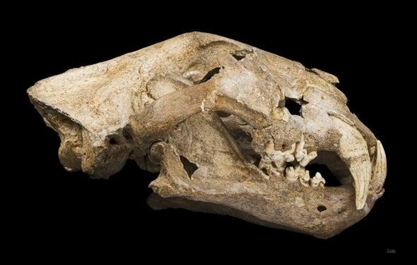 Bingo! Cave Lion DNA