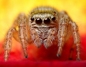 Spiders sniff out humans