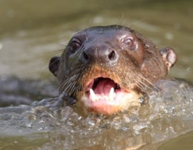 Giant Otters Damned by Giant Hydroelectric Dams