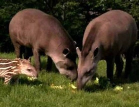 Tapir attacks past, present, but hopefully not future