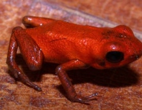 Poison Dart Frog Threatened by Toxic Gold Mines