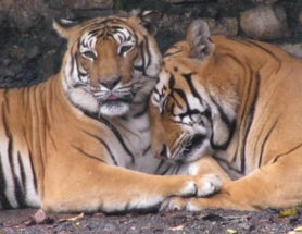 Tiger Populations in Nepal Can't Grow without More Food and Space