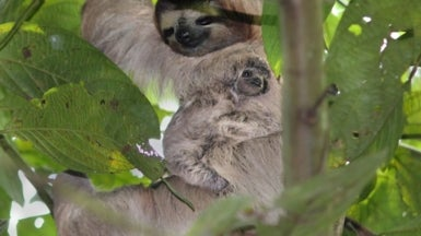 Lucky Field Researcher Witnesses Birth of Sloth! Happy International Day of the Sloth!