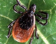Lyme Time Is upon Us Again