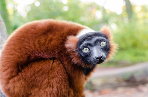 Who Eats Lemurs? The Answer Is More Complex Than You'd Think