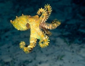 Octopus Genome Remains Elusive—But Full of Promise