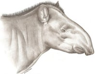 A new living species of large mammal: hello, Tapirus kabomani!