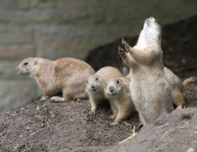 Catch the Wave: Decoding the Prairie Dog's Contagious Jump-Yip