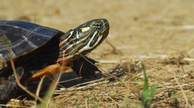 How a Painted Turtle Finds Its Way