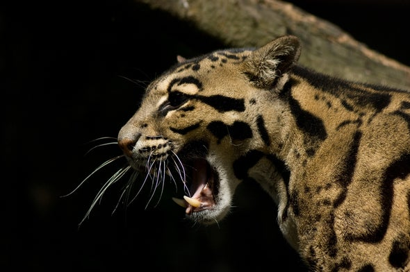 Clouded Leopards Threatened by Sudden Increase in Poaching and Live Trade
