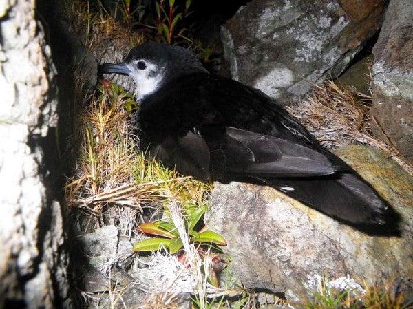 Amazing Discovery Nearly Extinct Bird Found Breeding In
