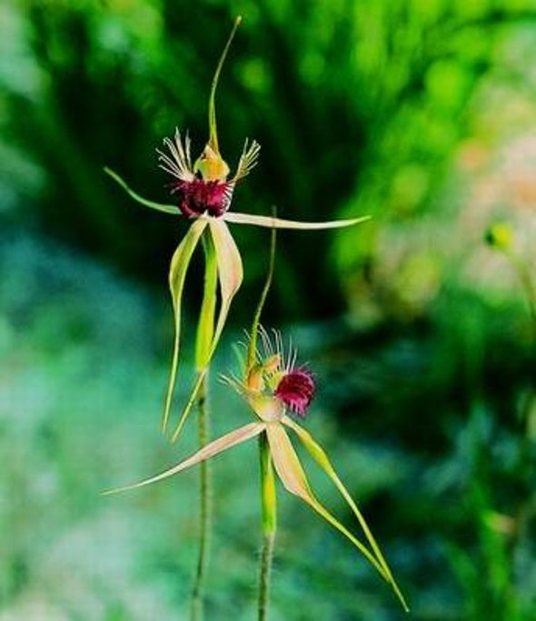 Sexually Deceptive Orchid Seeks Specialty Pollinator
