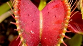 The Venus Flytrap Can Count Past 2