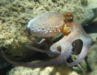 No Shots for the Octopus, Its Immune System Doesn't Remember