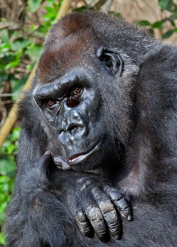 Why Was Harambe the Gorilla in a Zoo in the First Place?