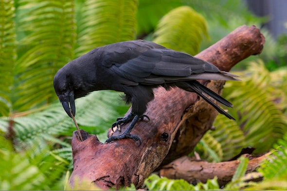 Something to Crow About: The Rise of Conservation Genomics