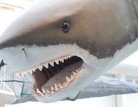 We Still Don't Know What Killed the Biggest Shark of All Time