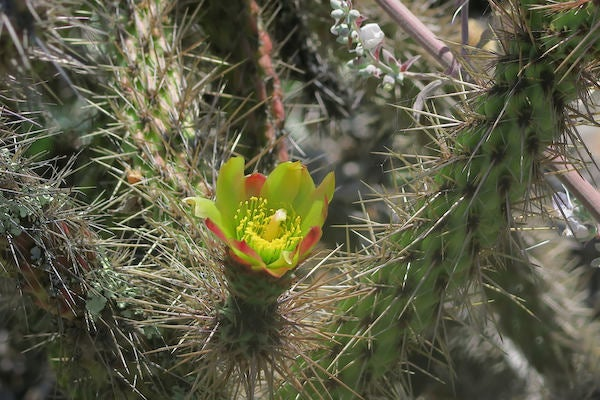 Prickly but Unprotected: 18 Percent of Cactus Species at Risk - Scientific American Blog Network