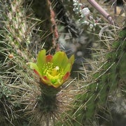 Prickly but Unprotected: 18 Percent of Cactus Species at Risk