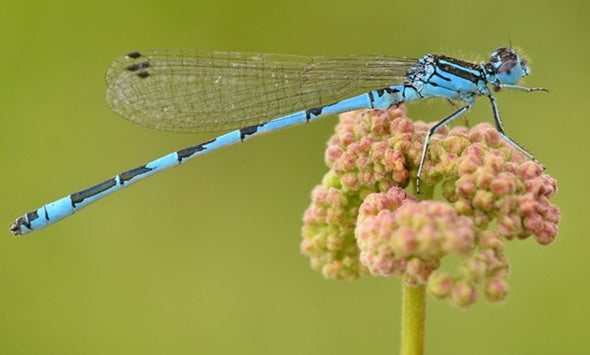 Damselfly in Distress: Water Shortages and Cannabis Threaten African Insect