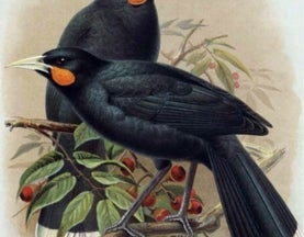 The Huia and the Sexually Dimorphic Bill