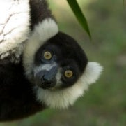 Crisis in Madagascar: 90 Percent of Lemur Species Are Threatened with Extinction