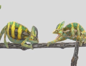 So Skinny, So Bright: How Colour Change Predicts the Odds of a Chameleon Battle