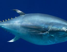 Bluefin Tuna, Chinese Cobra and Others Added to Red List of Threatened Species