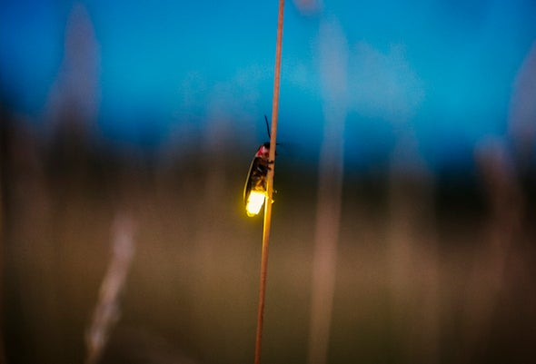 11 Cool Things You Never Knew about Fireflies